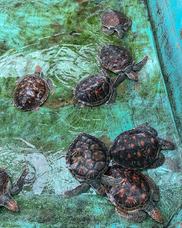 Као Лак экскурсия черепаховая ферма