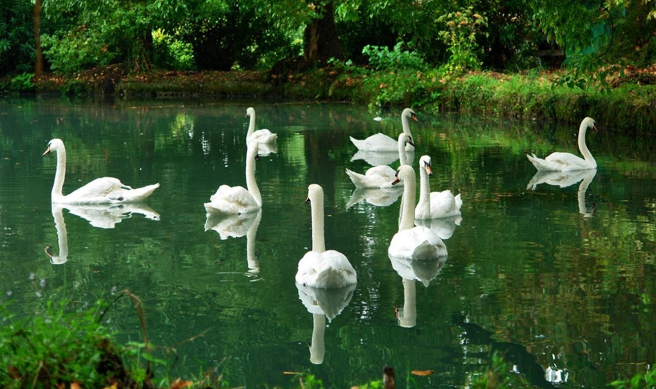 Приморский парк с лебедями