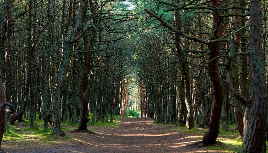 Танцующий лес тур калининград куршская коса