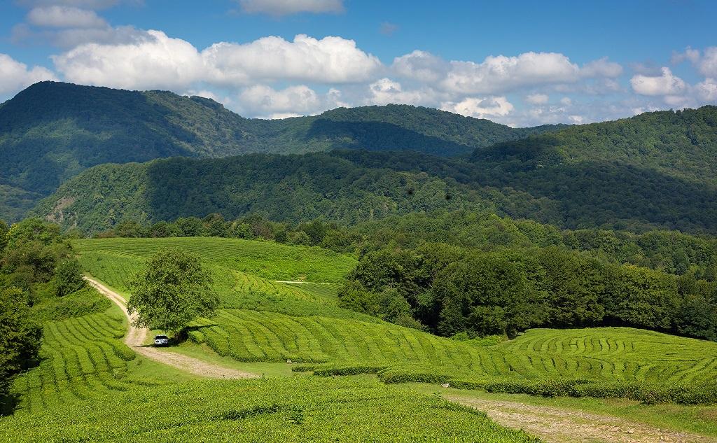 Экскурсии на чайные плантации и чайную фабрику Мацеста