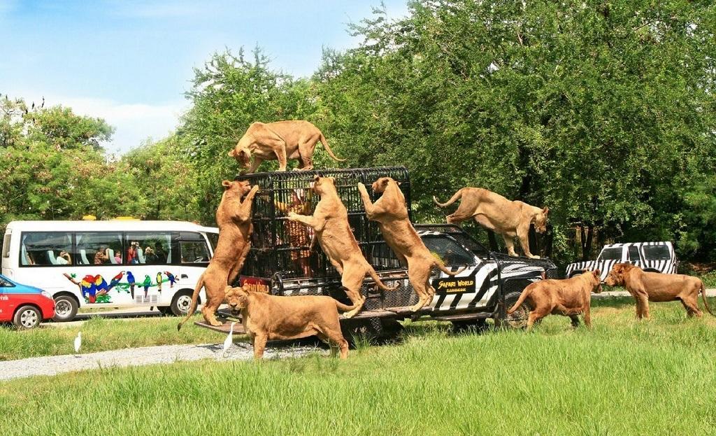 Сафари парк Safari World львы