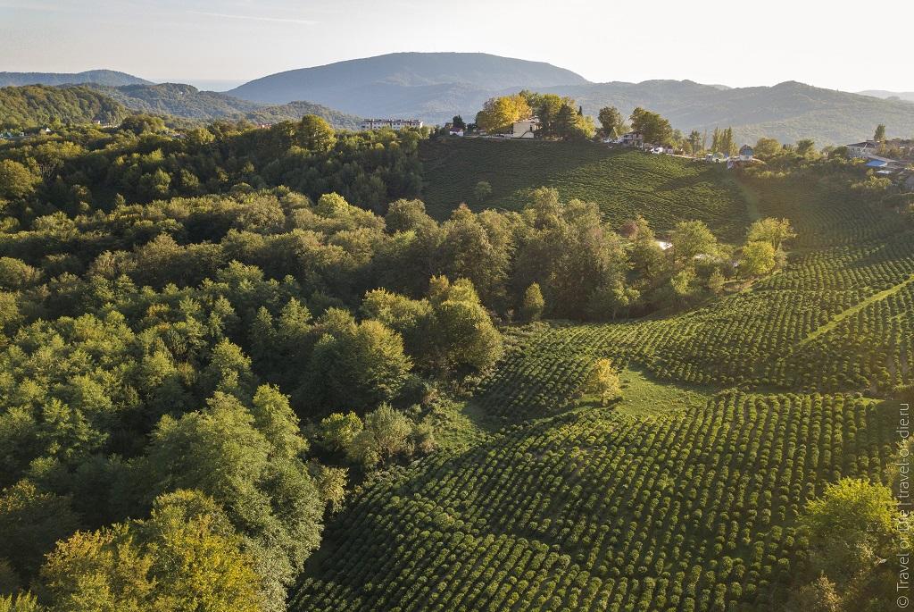 Достопримечательности рядом с Сочи - Чайные плантации Сочи