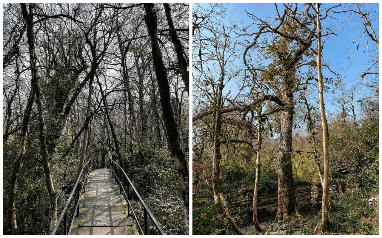 тисо-самшитовая роща - леса